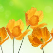 Beautiful orange poppies, summer background — Stockfoto