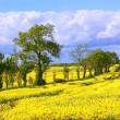 Beautiful fields of rape in Springtime - Stockfoto