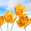 Bright, orange poppies on the sky background — Stockfoto