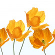Bright, orange poppies on white background — Stock Photo