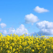 Beautiful fields of rape in Springtime — Foto Stock