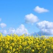 Beautiful fields of rape in Springtime — Stock Photo