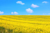 Beautiful fields of rape in Springtime — Stok fotoğraf