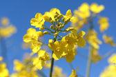 Beautiful oilseeds flowers close up — Stock Photo