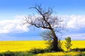 Beautiful fields of rape in Springtime — Stock Photo