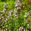 Thyme blooming in the garden — Stock Photo