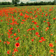 Fields or wild red poppies, vintage — Stock Photo