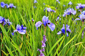 A group of blooming irises close up — Stock Photo
