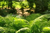 Large green fern bush in the forest — Stok fotoğraf
