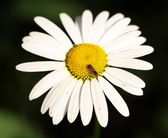 Insect on a flower daisy, macro shot — Stock Photo