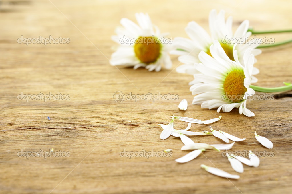 Fresh daisy chamomile flowers  on wooden background  Stock Photo #11007059