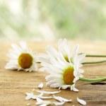 Fresh daisy chamomile flowers on wooden background — Stock Photo