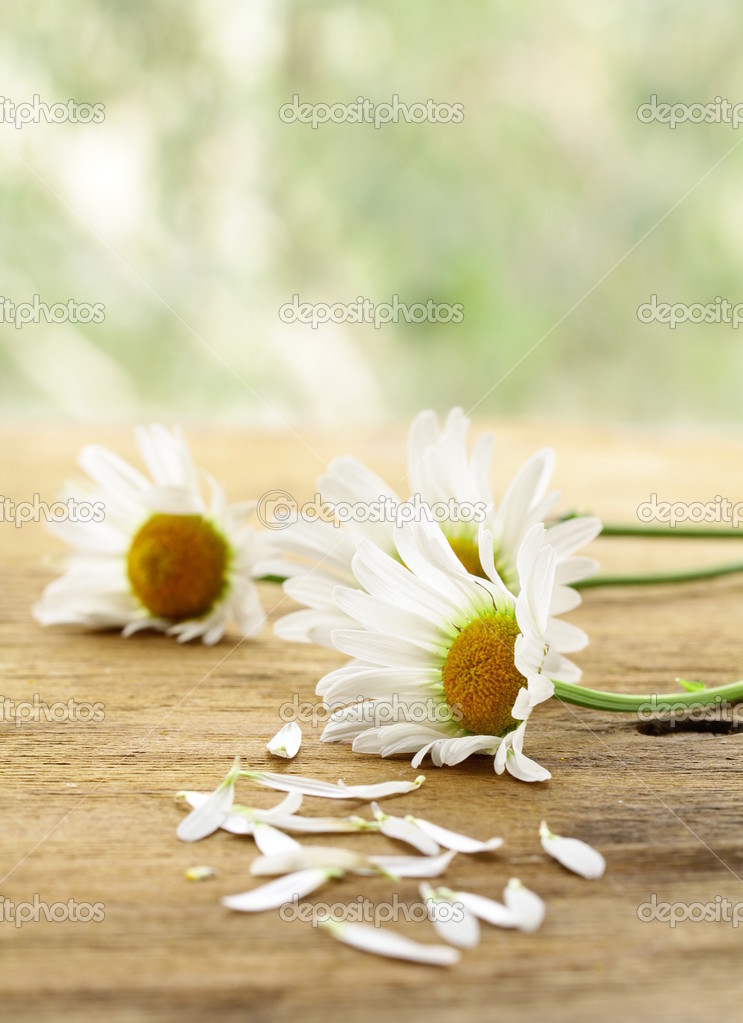 Fresh daisy chamomile flowers  on wooden background  Stock Photo #11068098