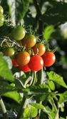 Homegrown Tomatoes — Stock Photo