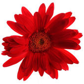 Beautiful red gerbera on the white — Stock Photo