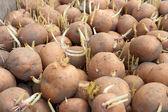 Potatoes tubers before planting — Stock Photo