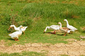 Geese in the pasture — Stock Photo