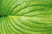 Big leaf with water drops — Stock Photo