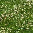 Many white clover flowers - Foto Stock