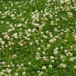 Many white clover flowers — Stock Photo
