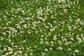 Many white clover flowers — Stock Photo