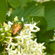 Green beetle on the flowering plants — Stock Photo