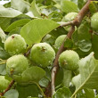 Small green apples fruit on branch — Stock Photo #11406000