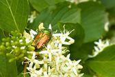 Zelený brouk na kvetoucí rostliny — Stock fotografie