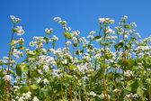 Flowering buckwheat plants — Stock Photo