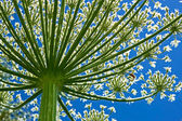 Giant Hogweed (heracleum sphondylium) from below — Stock Photo