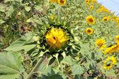 Yellow sunflowers on a field — Стоковое фото