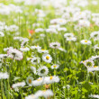 Daisies blossoming on a glade — Stock Photo
