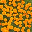 Beautiful orange chrysanthemums, the top view — Stock Photo