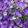 Background from beautiful dark blue flowers — Stock Photo #11830024