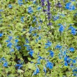 Background from beautiful dark blue flowers — Stock Photo