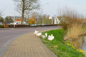 Geese on the waterfront in the Dutch town of Gorinchem. Netherla — Stock Photo