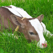 Calf in spring lying on green grass. — Stock Photo