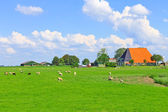 Sheep and poultry grazing in a meadow near the Dutch farm — Foto de Stock
