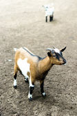 A brown goat and little white goat on field — Stock Photo