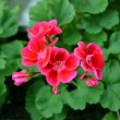 Geranium pelargonium flowers — Stock Photo