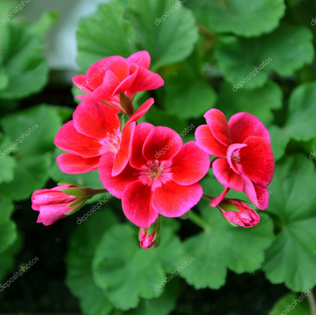 Pelargonium red flowers on a background of green leaves — Stock Photo #11559421
