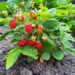 Stock Photo: Strawberry plant