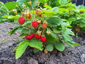 Strawberry plant — Stock Photo