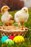 Two small baby chickens with colorful Easter eggs — Photo