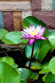 Purple water lily — Stock Photo