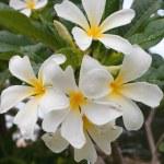Frangipani, Plumeria, Templetree — Stock Photo #11528167