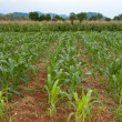 Corn farm — Stock Photo #11530476