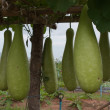 Big green Gourd — Stock Photo