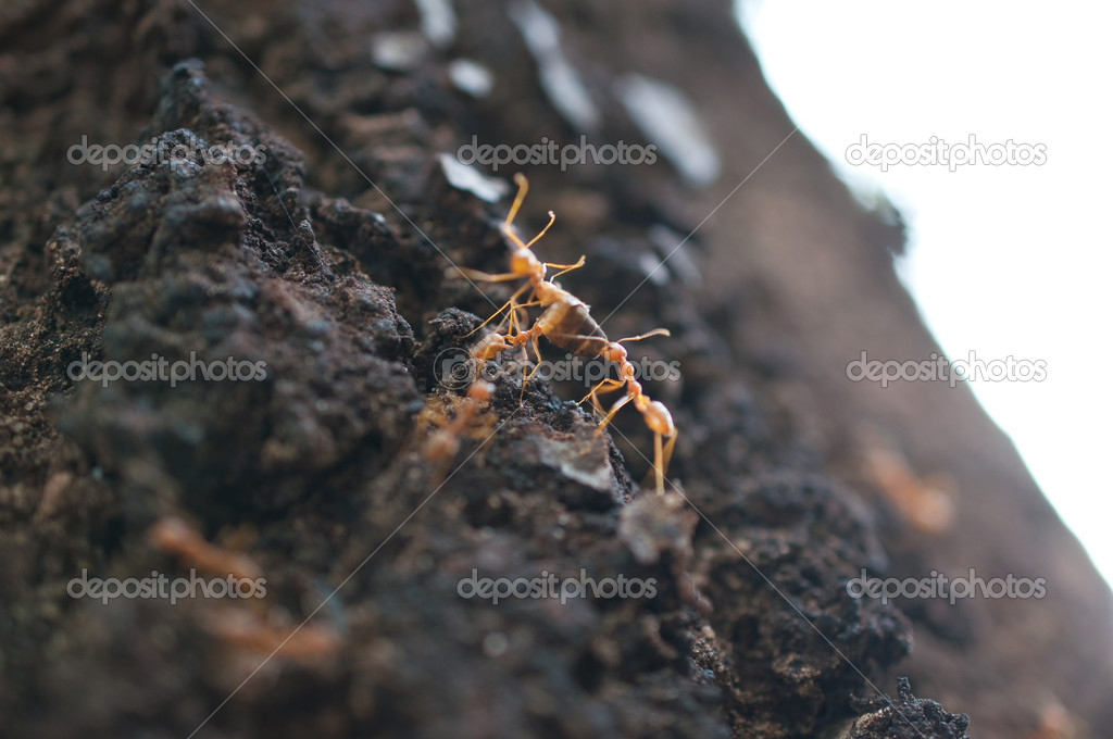 Red ants on the tree  Stock Photo #11688971