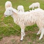 Sheeps in a farm — Stock Photo #12160262